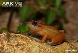 Baoruco Hammer Frog