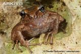 Doris Robber Frog