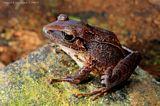 Cabral Robber Frog