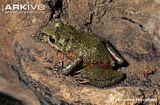 Patricias Robber Frog
